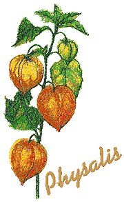 Garden Flower Series: Physalis