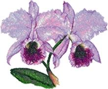 Fairy Slipper Orchid