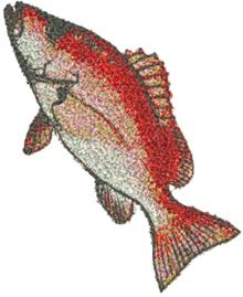 Blackfin Snapper