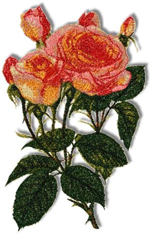 Magic Lantern Rose