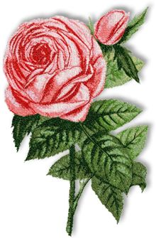 Rothschild Rose