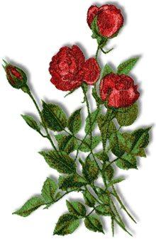 Beauty of Norwich Rose