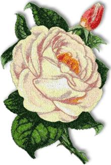 Ivory Lace Rose - machine embroidery design.